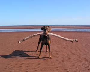 doberman with big stick